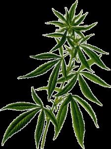 cannabis-plant